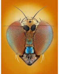 oci hmyzu