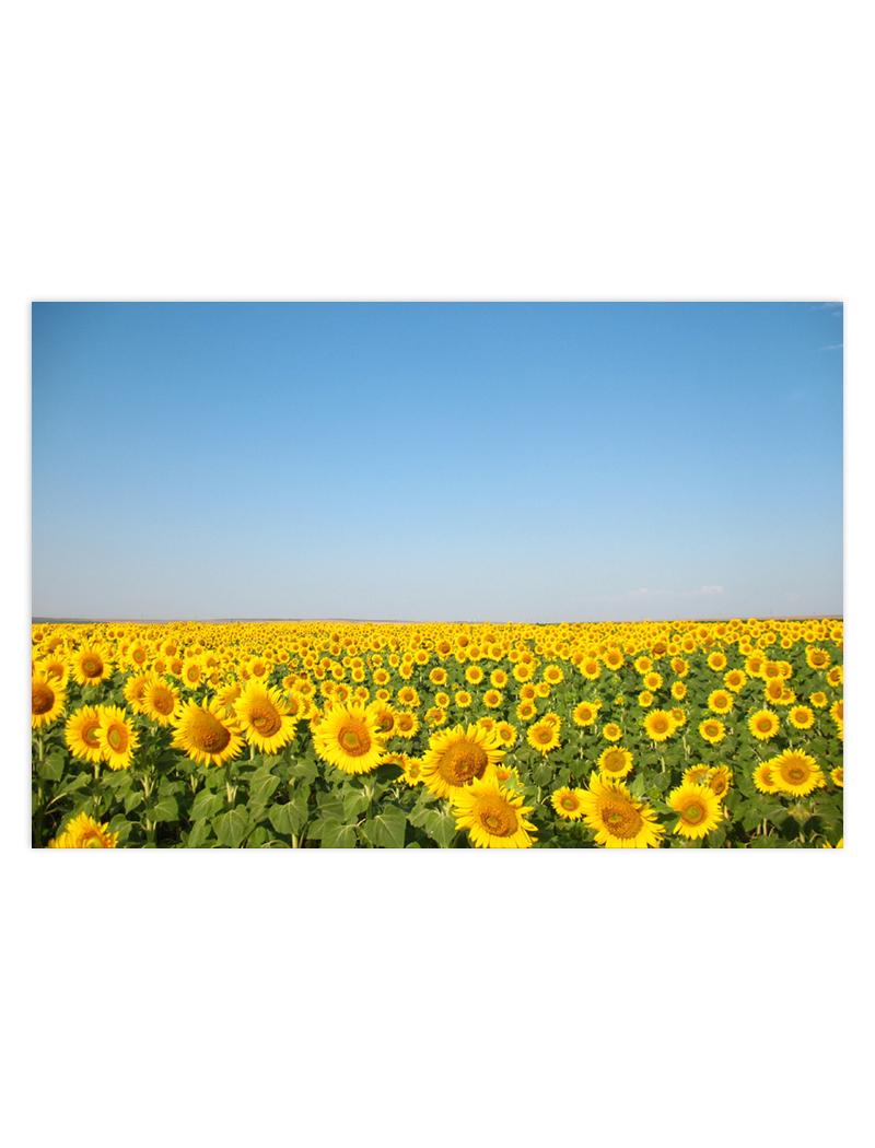 slnecnicove pole